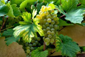 witte-druiven